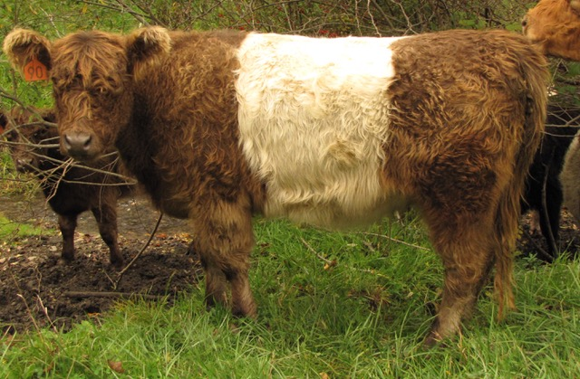 Classified Ads Belted Galloway Society