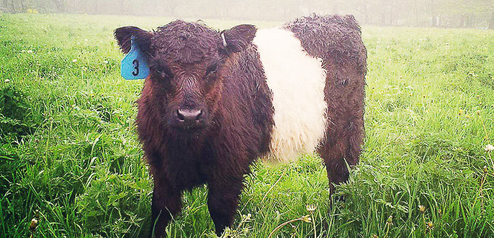 Home Belted Galloway Society